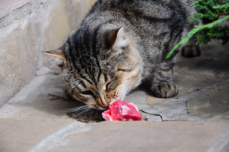 a cat eating raw meat