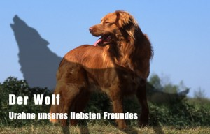 superbe nova scotia duck tolling retriever standard de profil