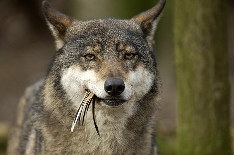 Wolf mit Fasanenfeder